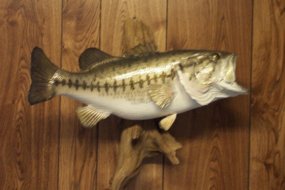 Nc taxidermist fish taxidermy gallery bowmans taxidermy for How to taxidermy a fish