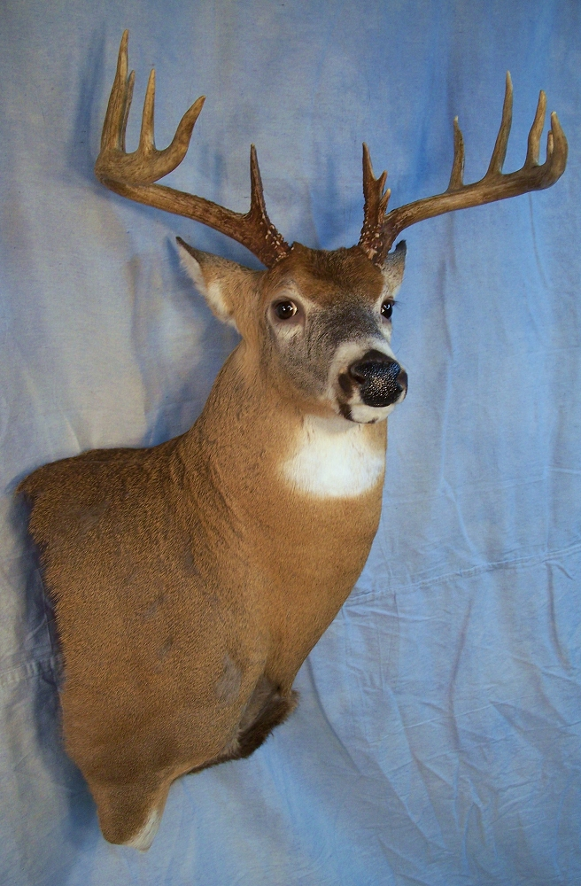 Nc Taxidermist Whitetail Taxidermy Gallery Page 2